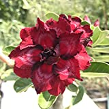 Rare Adenium Obesum, Double Flower, Grafted Mature Plant, Easy Care, Desert Rose Plant, New Hybrids, Not Just Seeds (69 Amata II)