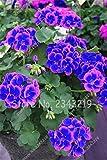 New Blue and Pink Planting Geraniums Sementes De Flores Raras Double Cplor Home Garden 50 pcsbag Cheap Pelargonium Bonsai Seeds