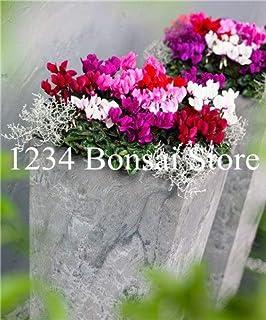 Pinkdose 100pcs Cyclamen Flower Bonsai, DIY Pianta in Vaso, Giardino in Miniatura Giardino Bonsai da Interno Crescita Naturale per Giardino Domestico Facile da Coltivare: 16