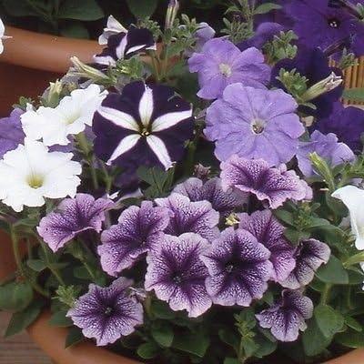 Petunia Blue Bedding Plant 6 Pack Garden Ready Plants