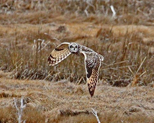 Photograph of a Short-eared Owl in flight -