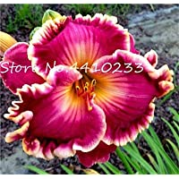 3 s in 1Ltr PotsSEED Hemerocallis Camp Embers SANHOC Seeds Package Day Lily