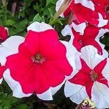 Petunia - Hulahoop Series Flower Garden Seed - 1000 Pelleted Seeds - Rose Blooms - Annual Flowers - Single Grandiflora Hula Hoop Petunias