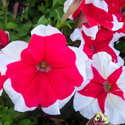 Petunia - Hulahoop Series Flower Garden Seed - 1000 Pelleted Seeds - Rose Blooms - Annual Flowers - Single Grandiflora Hula Hoop Petunias by Mountain Valley Seed Company