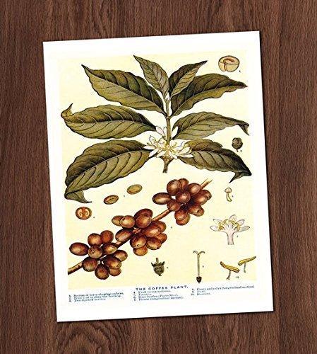 Coffee Plant Illustration Vintage Art Print 8x10 Wall Art Botanical Decor