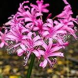 Nerine Bowdenii Garden Bulbs Guernsey Lily Autumn Pink Flower Perennial Corms