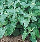 David's Garden Seeds Herb Catnip SSD916A (Green) 200 Organic Seeds