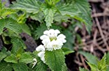 Home Comforts Canvas Print Flowers Nettle Spring Flowering Nettle Nettle Stretched Canvas 32 x 24