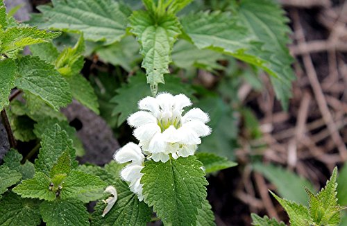 Home Comforts Print on Metal Flowers Nettle Spring Flowering Nettle Nettle Print 12 x 18. Worry Free Wall Installation - Shadow Mount is Included.