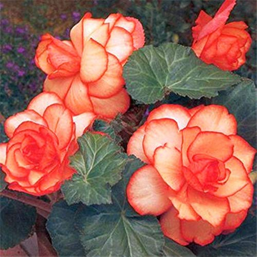 Topark Seeds – 100pcs Fragrance Begonia Bulbs Flower Seeds Hanging Basket Begonia Collection one of The Most Popular perennials for Shade!
