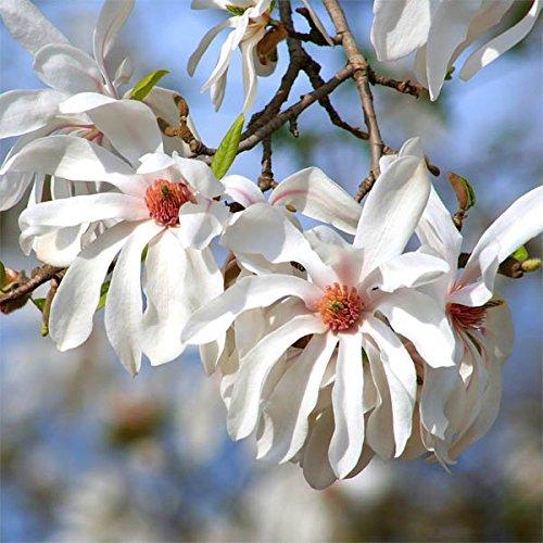 Magnolia stellata (Sternmagnolie) 100-125cm / 5l oder 7,5l-Container (Laubgehölze, Magnolien)