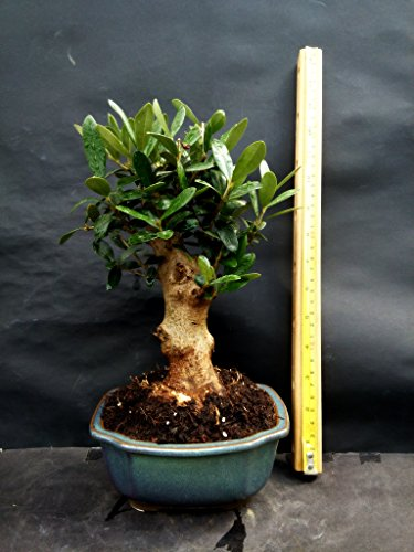 Olive tree - Bonsai - approximately 20 years old by mini bonsai (Image #2)