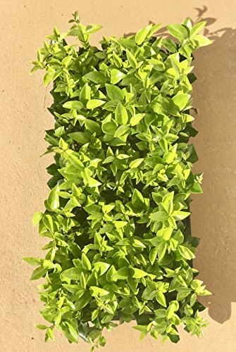 Ligustrum Waxleaf Privet Qty 30 Live Plants Evergreen Privacy Hedge by Florida Foliage (Image #2)