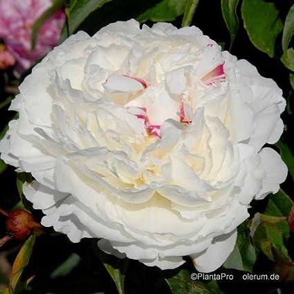 "Pfingstrose Shirley Temple Paeonia Lactiflora /""1 Wurzelstück mit Augen/"" Rarität"