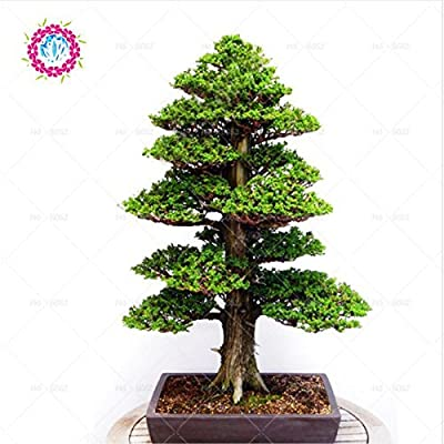 Cedrus deodara Seeds Cedrus Deodara Conifer Indoor Plant bonsai Tree Seeds 10Pcs