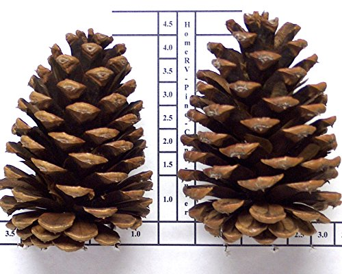 36 Pinecones 4 To 5 Inch Tall Grown On Oregon Pacific Ponderosa Pine Trees For Christmas ()