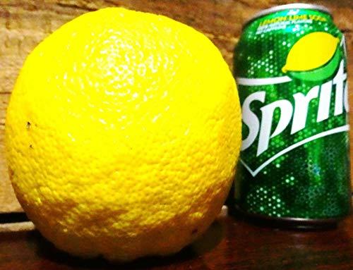 Giant Ponderosa Lemon Fruit Tree 3''-6'' Live Plants Citrus Edible Landscaping by Mini Garden (Image #1)