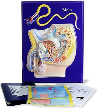 American Educational Male Reproductive Model Activity Set