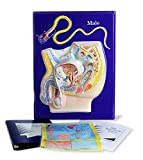 American Educational Male Reproductive Model Activity Set