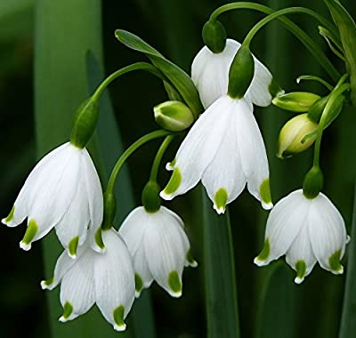 "(2) Spectacular Fragrant Flowering Bulbs ""Summer Snowflakes - Leucojum Aestivum"""