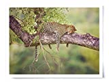 Leopard Sleeping in a Tree - Wildlife Photograph Animal Picture Home Decor Wall Nature Print - Variety of Size Available