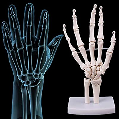 luosh Hand Joint Model Anatomical Skeleton Model for Educational Tool Lab Supplies Lab Ornament: Home & Kitchen