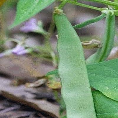 Roma II Green Bean Seeds (Treated) - Gold Vault Bulk