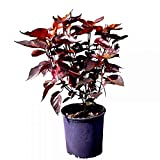 PlantVine Acalypha wilkesiana, Copperleaf - 10 Inch Pot (3 Gallon), Live Plant - 4 Pack