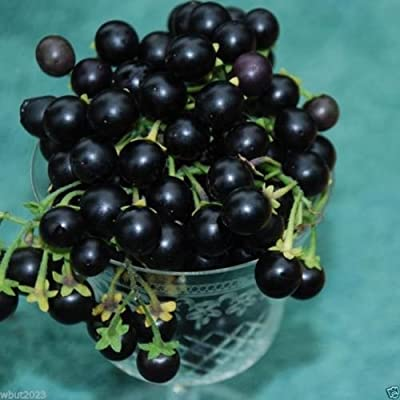 Wonderberry or Sunberry, Prefect for Jams,Jellies, and Pies ! 100 Seeds