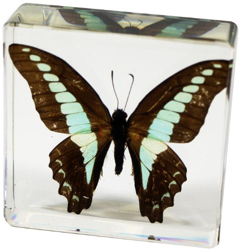 Common Blue Bottle Butterfly Paperweight(3x3x1