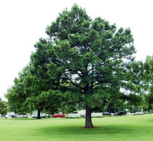 Austrian Pine Tree (Tree Seeds - 30 Seeds of Austrian Pine, Pinus nigra, (Fast Hardy Evergreen))