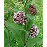 2016 organic Buy 2 Get one free Milkweed Seeds for a Butterfly Garden - help save the Monarch butterflies 50+perrenial seeds Fregrant