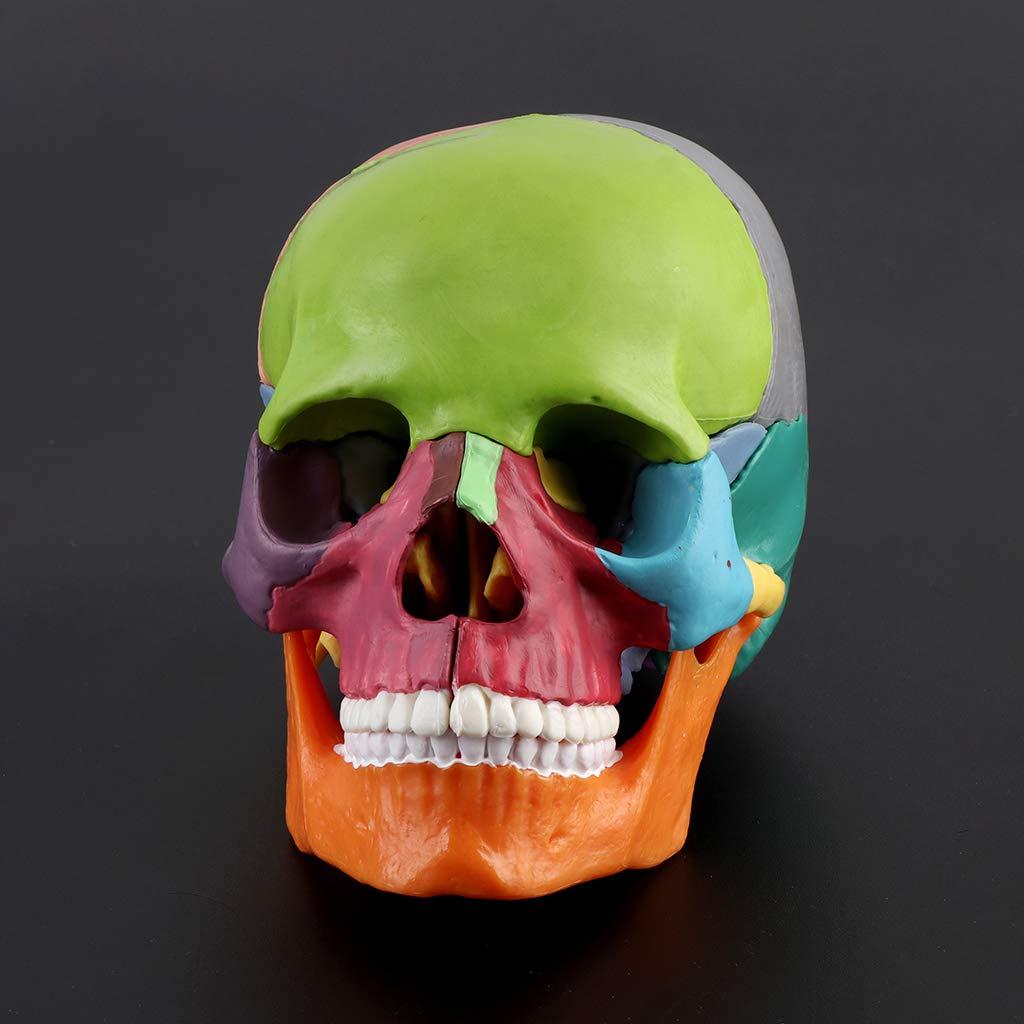 HavanaYZ 15pcs//Set 4D Disassembled Color Skull Anatomical Model Detachable Medical Teaching Tool