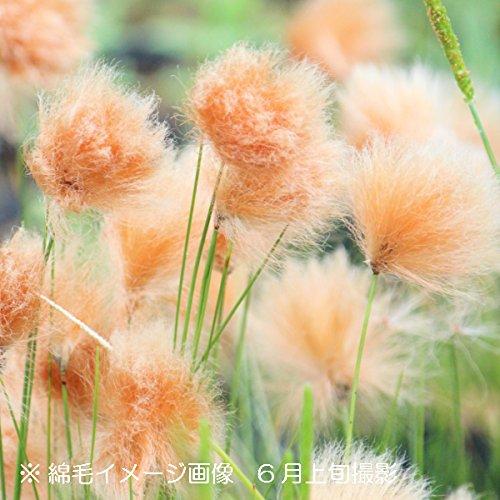 山野草:オレンジワタスゲ 9cmポット苗100ポットセット【紫桜館山の花屋】 B072ZX9FPT