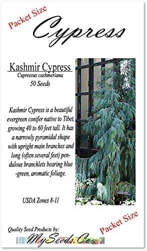 Kashmir Cypress Cupressus Cashmeriana  Conifer Tree and Bonsai 50 Seeds