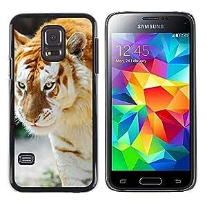 Caucho caso de Shell duro de la cubierta de accesorios de protección BY RAYDREAMMM - Samsung Galaxy S5 Mini, SM-G800 - Tigre Albino