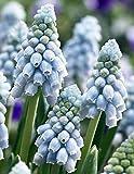Valerie Finnis Grape Hyacinth 20 Bulbs - Muscari - 8/9cm