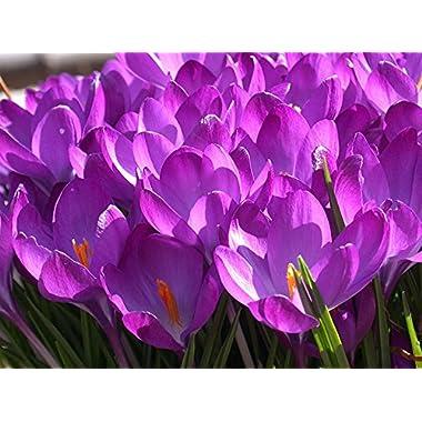 Tommies, Crocus Bulb (10 Pack) Pinkish Purple, Pinkish Purple Perennial Crocus Tommies Bulbs, Beautiful Pinkish Purple Flowers