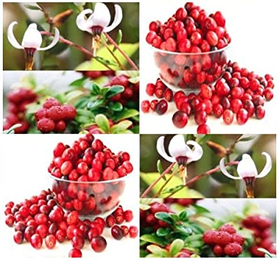 1,000 x American Cranberry, Vaccinium macrocarpon, Seeds LOW GROWING FRUITS EXCELLENT GROUND COVERS