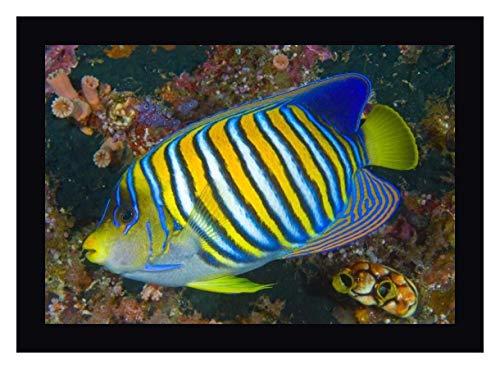 (Regal Angelfish, Raja Ampat, Indonesia by Jones Shimlock - 20