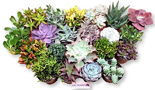 Fat Plants San Diego Large Succulent Plant Collection by Fat Plants San Diego (Image #1)