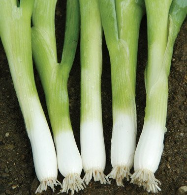 David's Garden Seeds Bunching Onion Nebechan D256 (White) 500 Hybrid Seeds