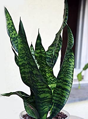 "Black Snake Plant - Sanseveria - Almost Impossible to Kill - 4"" Pot From Jm Bamboo from jmbamboo"