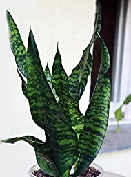 Black Snake Plant - Sanseveria - Almost Impossible to Kill - 4\