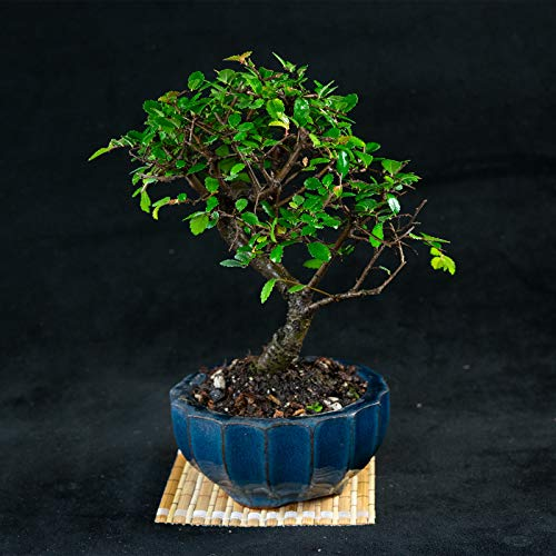 Tree Elm Chinese Bonsai (Chinese Elm Mame Shohin Bonsai Tree - Ulmus parvifolia # 5546)