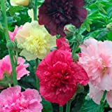 Package of 250 Seeds, Double Majorette Hollyhock Mixture (Alcea rosea) Non-GMO Seeds by Seed Needs