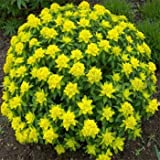 Outsidepride Euphorbia Seeds Cushion Spurge - 150 Seeds