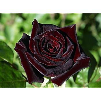 Amazon Com 20 Black Baccara Hybrid Rare Rose Seeds Exotic True