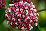 Rose Milkweed Flower Seeds (18k or 1/4 Pound Seeds)