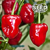 Habanero Red Pepper Seeds - 100 Seeds NON-GMO